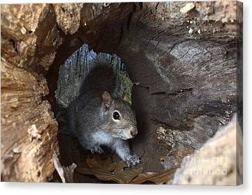 Gray Squirrel Canvas Print by Ted Kinsman