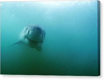 Carcharadon Carcharias Canvas Print - Great White Shark by Alexis Rosenfeld