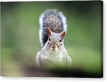 Grey Squirrel Canvas Print by Colin Varndell