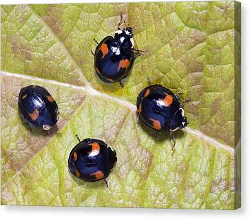 Harlequin Ladybirds Canvas Print by Sheila Terry