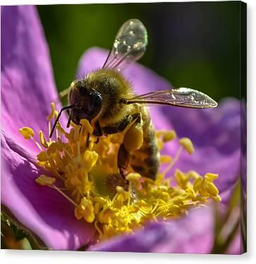Honey Bee Canvas Print by Brian Stevens