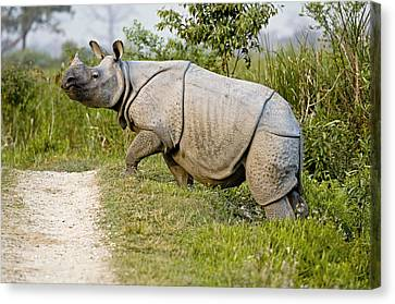 Indian Rhinoceros Canvas Print