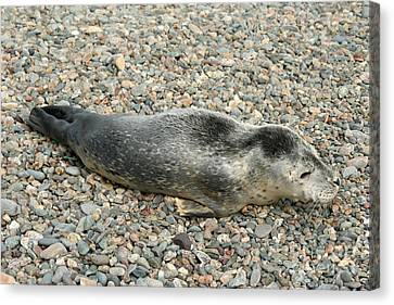 Injured Harbor Seal Canvas Print by Ted Kinsman