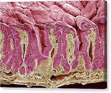 Intestinal Lining, Sem Canvas Print by Steve Gschmeissner
