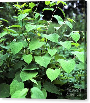 Japanese Knotweed Canvas Print by Sheila Terry