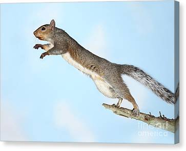 Jumping Gray Squirrel Canvas Print by Ted Kinsman