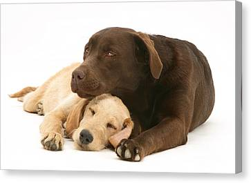 Labradoodle And Labrador Retriever Canvas Print by Jane Burton