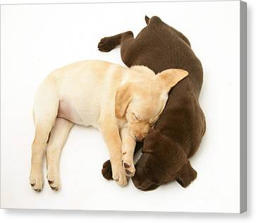 Labrador Retriever Puppies Canvas Print