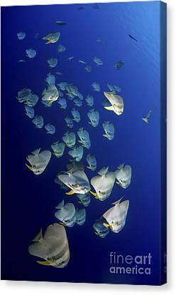 Large School Of Batfish, Christmas Canvas Print by Mathieu Meur