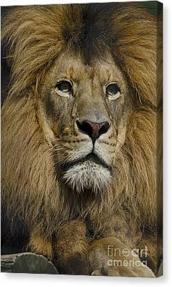 Lion Canvas Print by JT Lewis