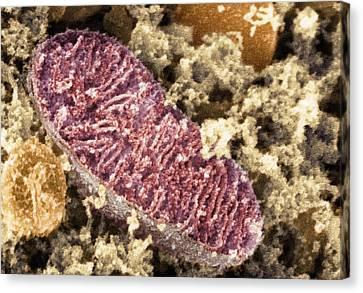 Intracellular Energy Canvas Print - Mitochondrion, Sem by Dr David Furness, Keele University