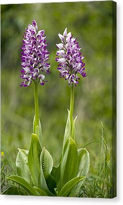 Monkey Orchid (orchis Simia) Canvas Print by Bob Gibbons