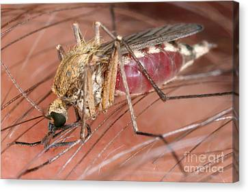 Mosquito Biting A Human Canvas Print by Ted Kinsman