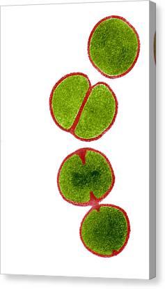 Mrsa Bacteria, Tem Canvas Print