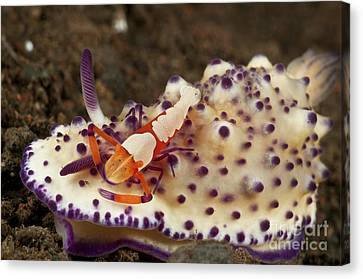 Nudibranch With Orange Emperor Shrimp Canvas Print by Mathieu Meur