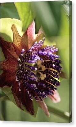 Passion Flower (passiflora Sp.) Canvas Print