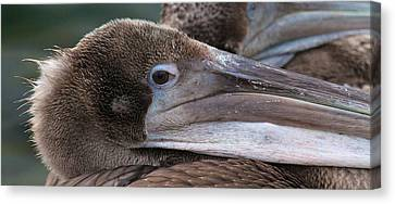 Pelican Canvas Print by Paul Marto