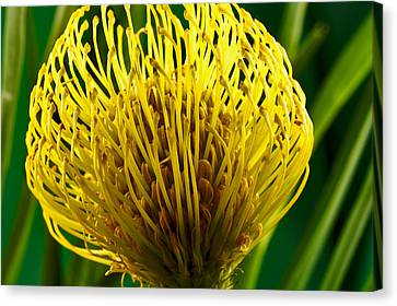 Canvas Print featuring the photograph Picture Of A Pincushion Protea by Perla Copernik