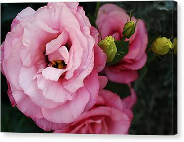 Pink Delight Canvas Print by Bruce Bley