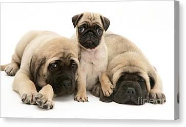 Mastiff Pups Canvas Print - Pug And English Mastiff Puppies by Jane Burton