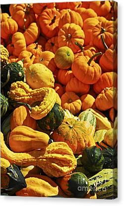 Pumpkins And Gourds Canvas Print by Elena Elisseeva