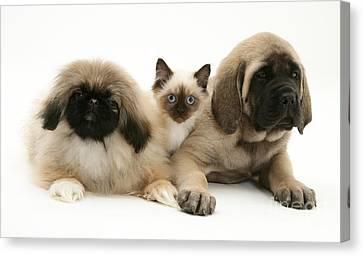 Mastiff Pups Canvas Print - Puppies And Kitten by Jane Burton