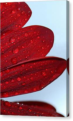 Raindrops On Red Flower Canvas Print
