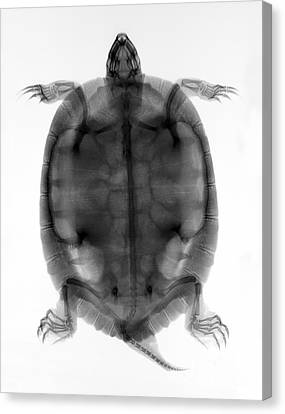 Red-eared Slider Turtle X-ray Canvas Print by Ted Kinsman
