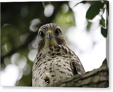 Red Shouldered Hawk Canvas Print by Jeanne Andrews