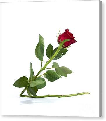 Red Tulip Canvas Print by Bernard Jaubert