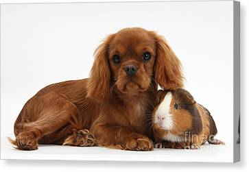 Cavy Canvas Print - Ruby Cavalier King Charles Spaniel Pup by Mark Taylor