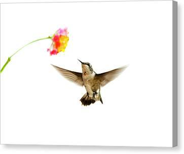 Ruby-throated Hummingbird Canvas Print by Jim McKinley