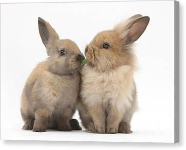 Sharing Canvas Print - Sandy Rabbits Sharing Grass by Mark Taylor