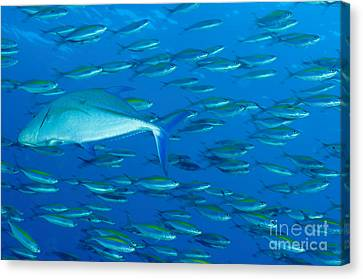Caesionidae Canvas Print - School Of Wide-band Fusilier Fish by Steve Jones