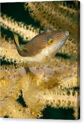 Puffer Acrobatics Canvas Print by Jean Noren