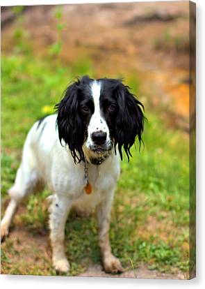 Spaniel Canvas Print by Marlo Horne