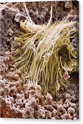 Sperm Production Site, Sem Canvas Print by Steve Gschmeissner
