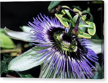 Stamen Of A Passionflower Canvas Print by Sami Sarkis