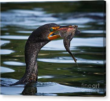 Phalacrocorax Auritus Canvas Print - Success by Carl Jackson