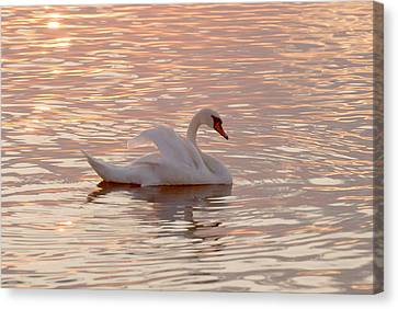 Swan In The Lake Canvas Print by Odon Czintos