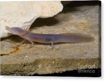 Texas Blind Salamander Canvas Print by Dante Fenolio
