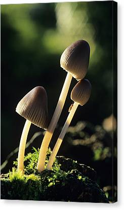 Toadstools Canvas Print by David Aubrey