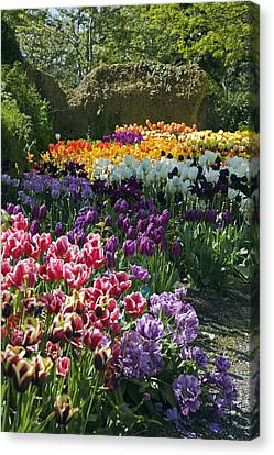 Tulip (tulipa Sp.) Borders Canvas Print by Dr Keith Wheeler