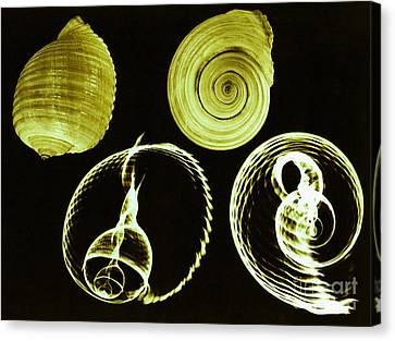 Tun Shell X-ray Canvas Print by Photo Researchers