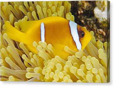 Twoband Anemonefish Canvas Print by Alexis Rosenfeld