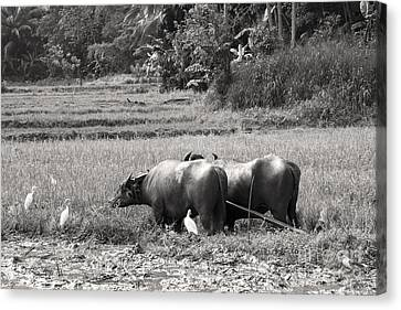 Water Buffalo Canvas Print by Jane Rix