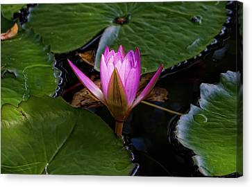 Water Lily Canvas Print by Robert Ullmann
