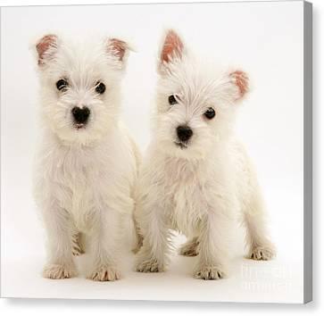 West Highland White Terriers Canvas Print by Jane Burton
