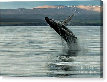 Whale Jumping Canvas Print
