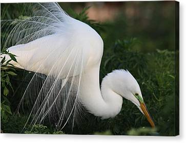 White Egret Canvas Print by Jeanne Andrews